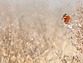 Common kingfisher - IJsvogel - Alcedo atthis 05.jpg