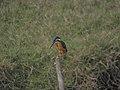 Common kingfisher 03.jpg