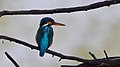 Common kingfisher with twinkle in the eye.jpg