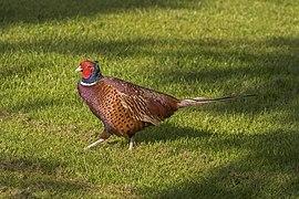 Common pheasant (Phasianus colchicus) male 3.jpg