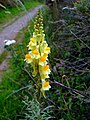 Common toadflax (Linaria vulgaris) - geograph.org.uk - 901853.jpg
