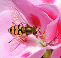 ComputerHotline - Syrphidae sp. (by) (3).jpg