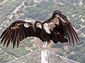 Condor 18 at Pinnacles 014 (19131865633).jpg