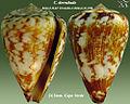Conus derrubado3.jpg