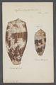 Conus geographus - - Print - Iconographia Zoologica - Special Collections University of Amsterdam - UBAINV0274 085 10 0009.tif