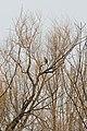 Cooper's Hawk (Accipiter cooperii) - Kitchener, Ontario 03.jpg