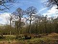 Coppiced area of Whomerley Wood, Stevenage (8683236856).jpg