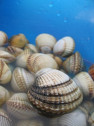 Cockle (bivalve) - Live specimens of  Cerastoderma edule from France