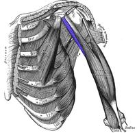 Coracobrachialis.png