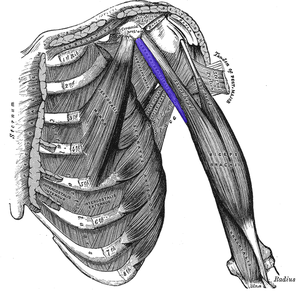Coracobrachialis muscle - Deep muscles of the chest and front of the arm, with the boundaries of the axilla.  Coracobrachialis is shown in blue.