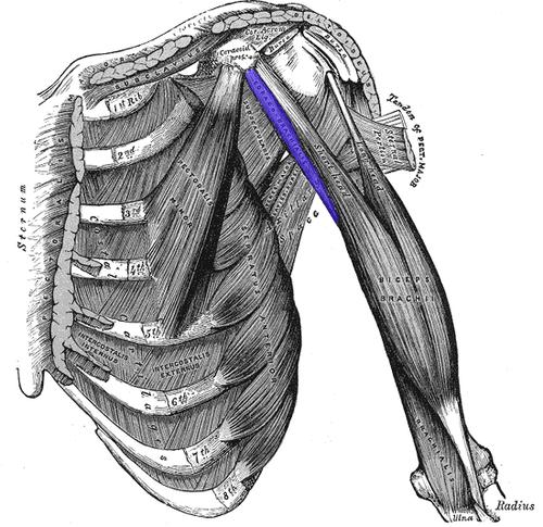 Articulación del hombro - Wikiwand