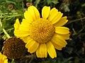 Corn Marigold (Glebionis segetum) (8141579938).jpg