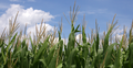 Corn tassels.png