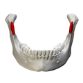 Coronoid process of mandible - close up - anterior view.png