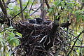 Corvus cornix nest 14 days.JPG