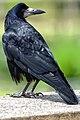 Corvus frugilegus -Cookridge, Leeds, England-8.jpg