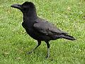 Corvus in Horton Plains National Park 01.JPG