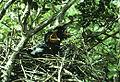 Corvus kubaryi nest.jpg