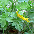 Corydalis aurea 2.jpg