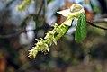 Corylopsis glabrescens 2zz.jpg