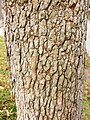 Corymbia ficifolia - trunk bark.jpg
