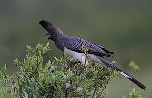 White-bellied go-away-bird - Image: Corythaixoides leucogaster Buffalo Springs National Park, Kenya 8