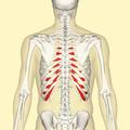Costal cartilages back.png