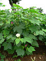 Cotton plant.jpg
