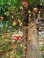 Couroupita guianensis - Cannon Ball Tree at Peravoor (45).jpg