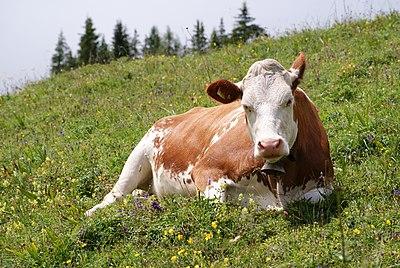 Cow (Fleckvieh breed) Oeschinensee Slaunger 2009-07-07.jpg