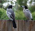 Cracticus torquatus -Brisbane -garden fence-8.jpg