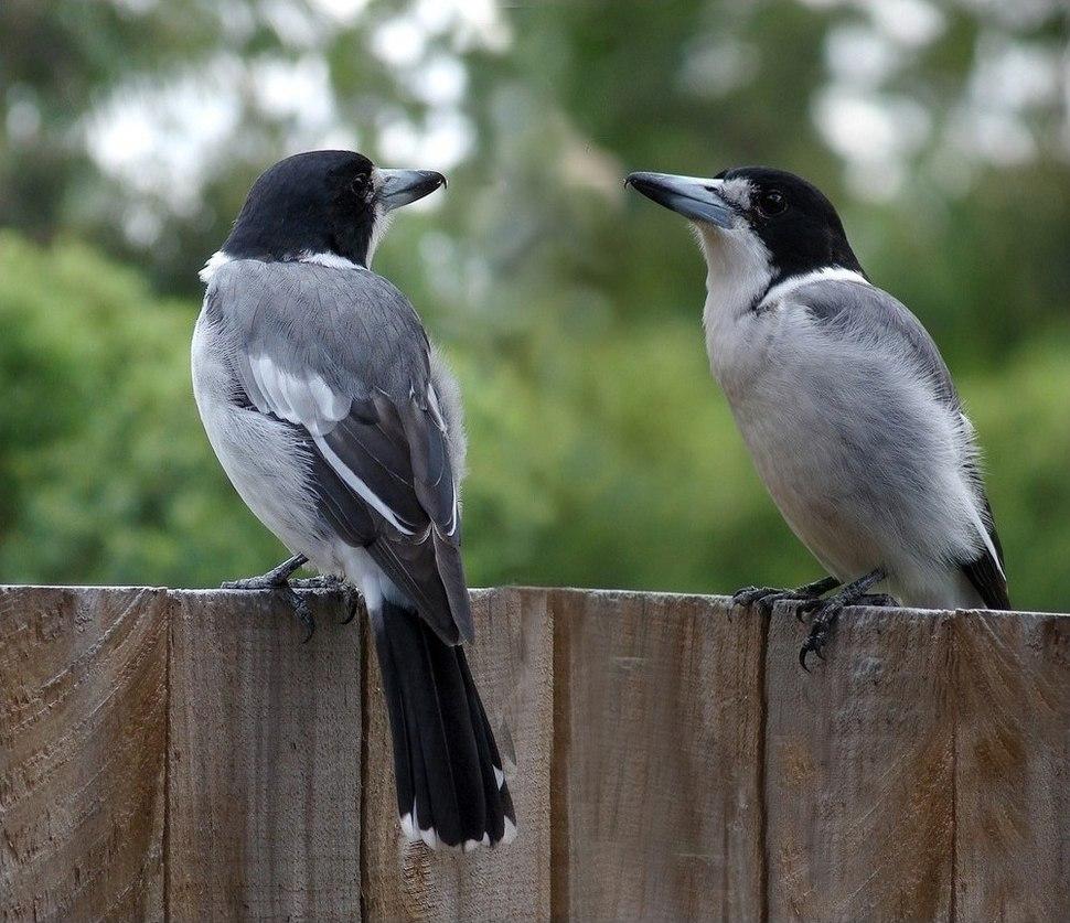 Cracticus torquatus -Brisbane -garden fence-8