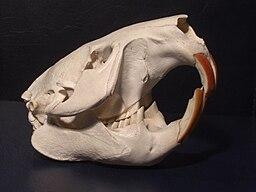 Cranium of a European Beaver