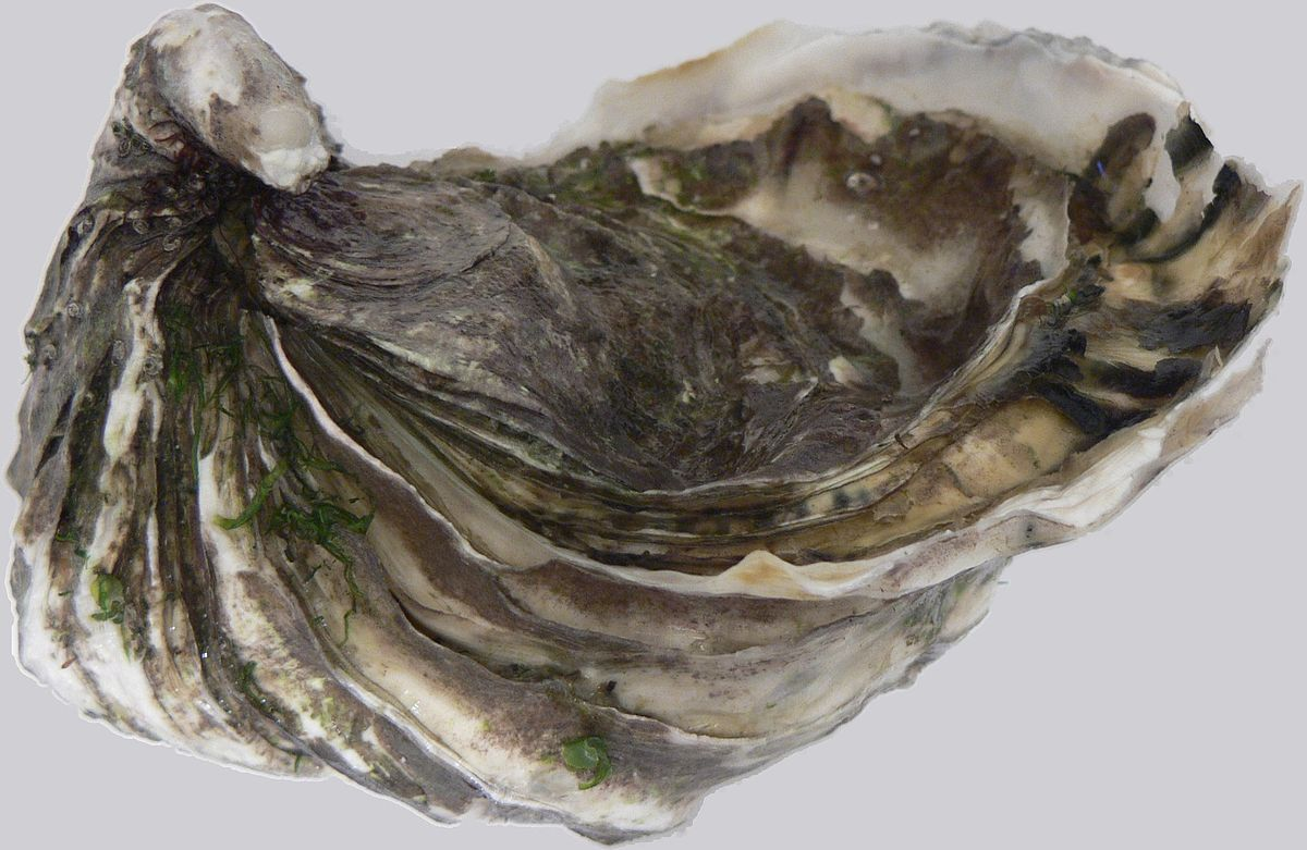 Pacific oyster wikipedia for P o fish