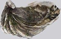 Crassostrea gigas p1040847