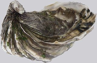 Pacific oyster species of mollusc