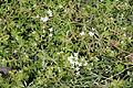 Crassula helmsii - Jardin des Plantes.jpg
