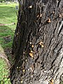 Crepidotus crocophyllus 56253228.jpg
