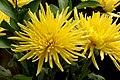 Crisantemo (Chrysanthemum spp.) (14388801189).jpg