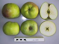 Cross section of Earl Cowper, National Fruit Collection (acc. 1949-055).jpg
