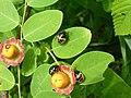 Cup and Saucer Plant Holmskioldia sanguinea by Raju Kasambe DSCF9933 (1) 11.jpg