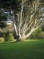 Cupressus macrocarpa at Colonsay House Gardens, Isle of Colonsay.jpg