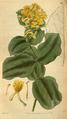 Curtis's Botanical Magazine, Plate 3103 (Volume 58, 1831).png