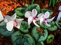 Cyclamen coum (Myrsinaceae) flower HDR.jpg