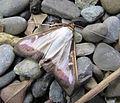 Cydalima perspectalis buchsbaumzuensler 2012 IMG 4673.JPG