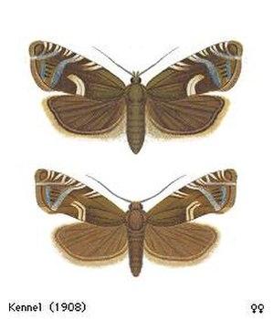 Cydia duplicana - Adult females (males look alike)