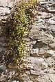 Cymbalaires des murs-Cimbalaria muralis-20150411.jpg
