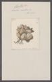 Cynthia rustica - - Print - Iconographia Zoologica - Special Collections University of Amsterdam - UBAINV0274 092 01 0034.tif