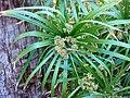 Cyperus-alternifolius-20080321-2.JPG