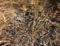 Cyperus laevigatus.jpg